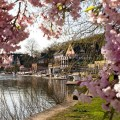 Cherry Blossom Looking at Boathouse Row